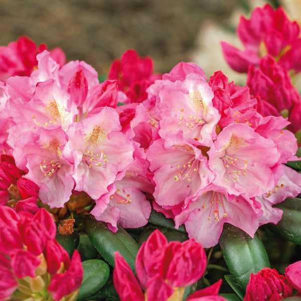 Rhododendron Kalinka - Despatch From 22nd February