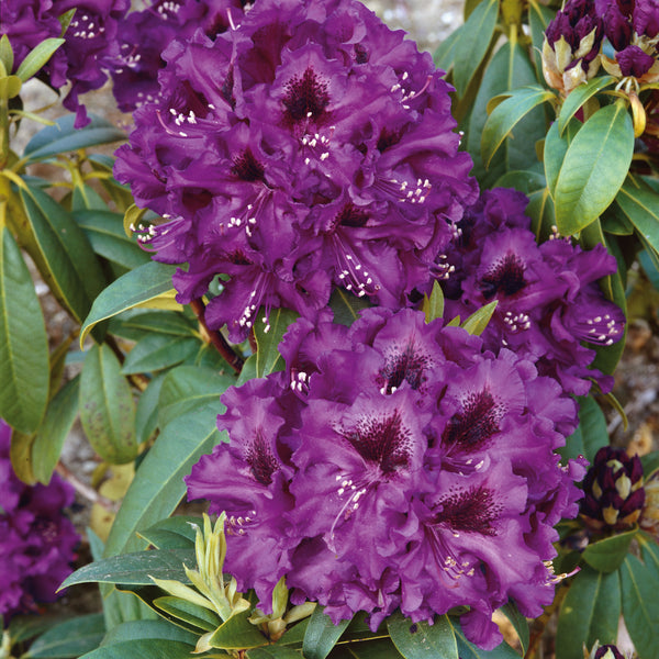 Rhododendron Polar Night - Despatch From WC 22nd March