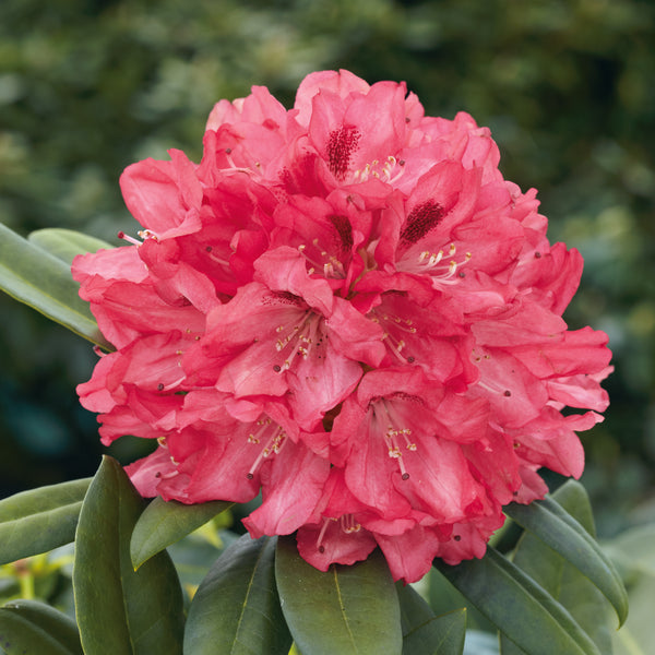Rhododendron Sneezy - Despatch From WC 22nd March
