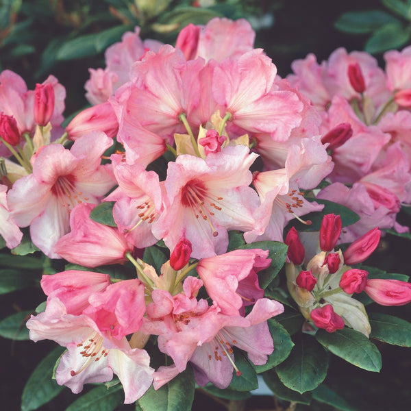 Rhododendron Virginia Richards - Despatch from WC 22nd March