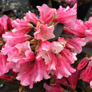 Dwarf Rhododendron Wee Bee- Despatch from WC 18th January