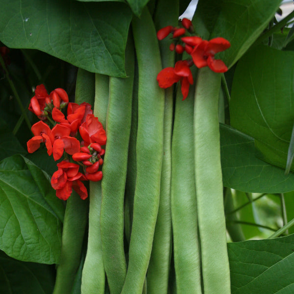 Runner Bean Medley 18 Plant Pack - Despatch From WC 7th June