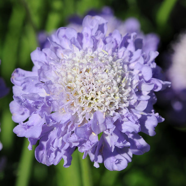 Scabiosa Blue Note 6 Plant Pack- Despatch From WC 17th May