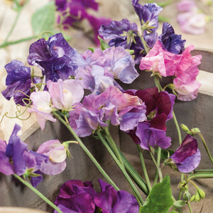 Sweet Pea Fragrant Multiflora Mix 24 Plant Pack - WC 26th April