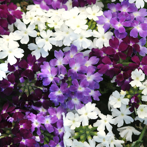 Verbena Quartz Waterfall Mix 20 Plant Pack - Despatch From WC 10th May