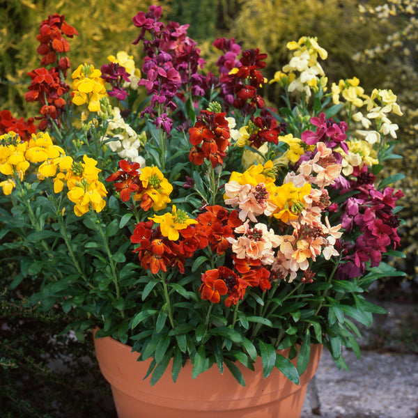 Wallflower Dwarf Mix 30 Plant Pack - Despatch from 28th September