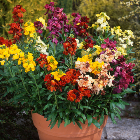 Wallflower Dwarf Mix 30 Plant Pack