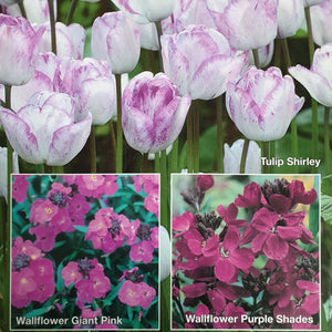Wallflower and Tulip Collection - Despatch from 28th September