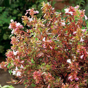 Abelia Sunshine Daydream- Despatch from WC 18th January