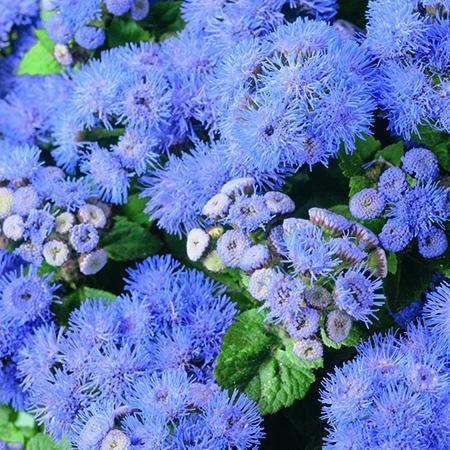 Ageratum Champion 20 Plant Pack Dispatch From - 10/05/21