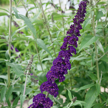 Buddleia Black Knight - Despatched from 13th July