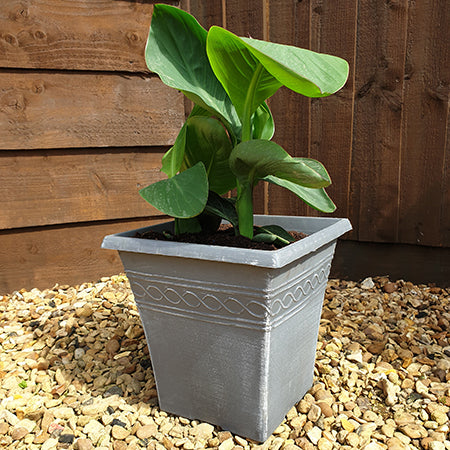 Canna and Square planter