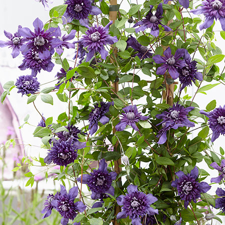 Clematis Kokonoe - Despatch from 13th July