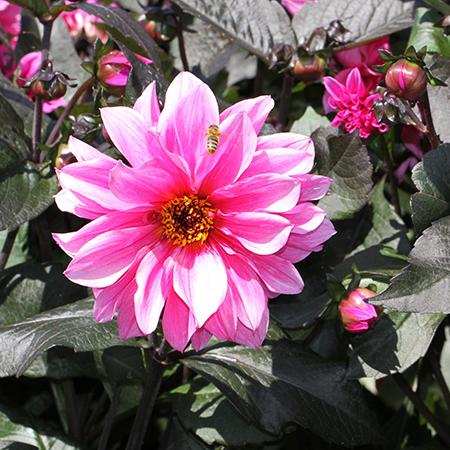 Dahlia Deeply Dark Foliaged Premium Sized Tubers