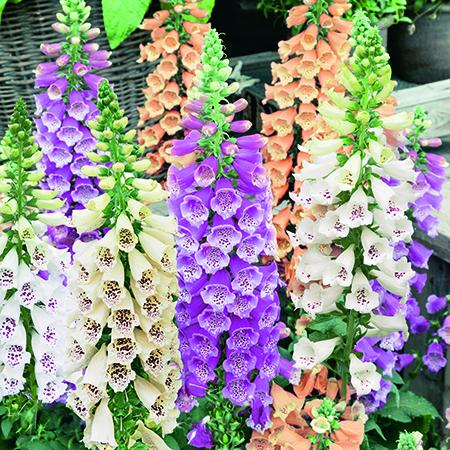 Digitalis Dalmatian 6 Plant Pack - Despatch from WC 17th May