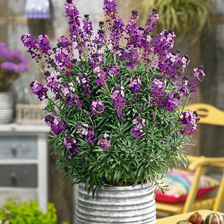Erysimum Bowles Mauve Dispatch From 15/03/21