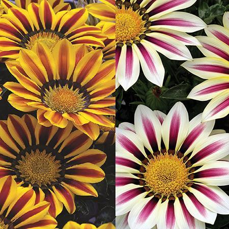 Gazania Big Kiss 6 Plant Pack Dispatch From - 31/05/21
