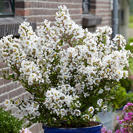 Lagerstroemia With Love Virgin - Despatch from 24th August