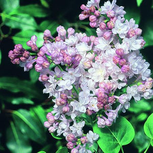 Lilac Beauty of Moscow