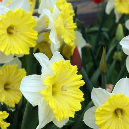Narcissus Dinner Plate 10 Bulbs - From 7th September