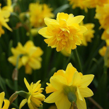 Narcissus Tete Boucle 20 Bulbs