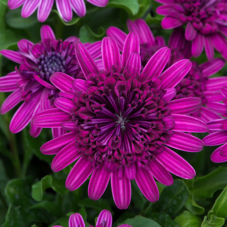 Osteospermum Double Fun 6 Plant Collection Dispatch From 10/05/21