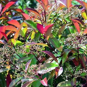 Evergreen Border Shrubs 3 Plant Pack