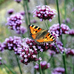 Plants For Feeding Pollinating Insects