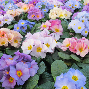 Primrose Provence  20 Plant Pack - From 5th October