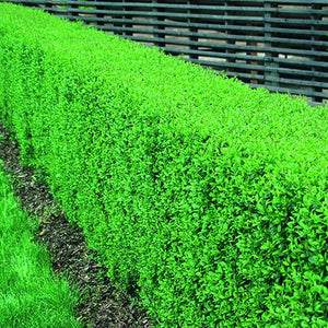 Privet Hedging Green