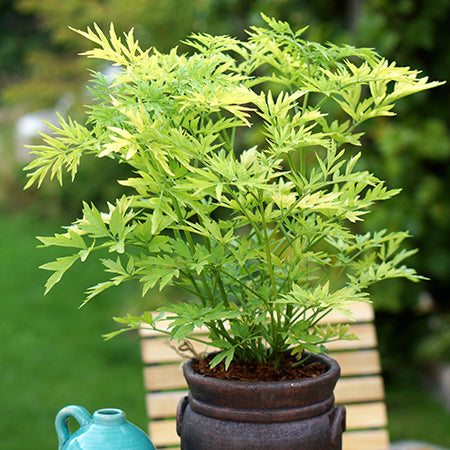 Sambucus Golden Tower