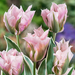 Tulip Dixter - Despatch from 7th September