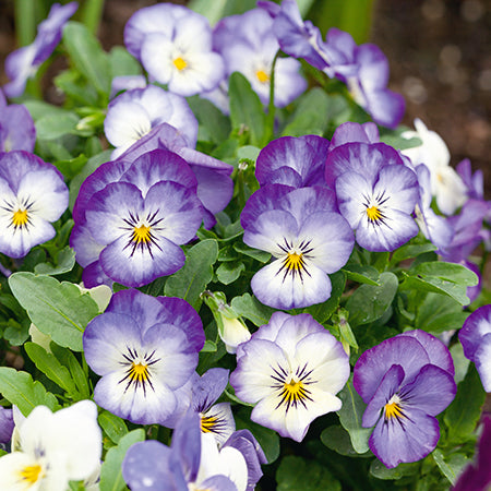 Viola Butterfly Icy Blue 20 Plant Pack