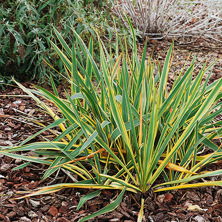 Yucca Bright Edge - Despatched from 13th July