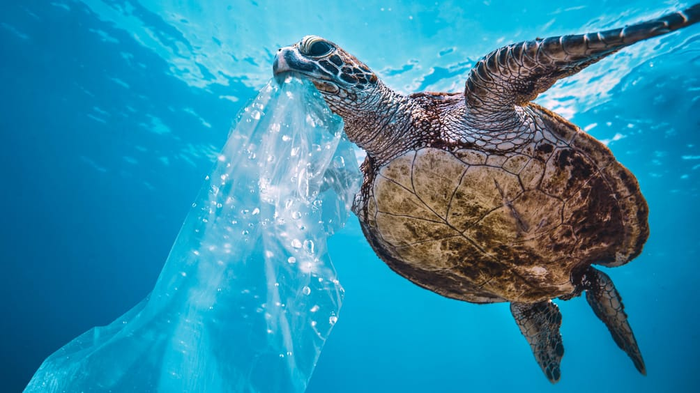 Turtle eating a plastic bag