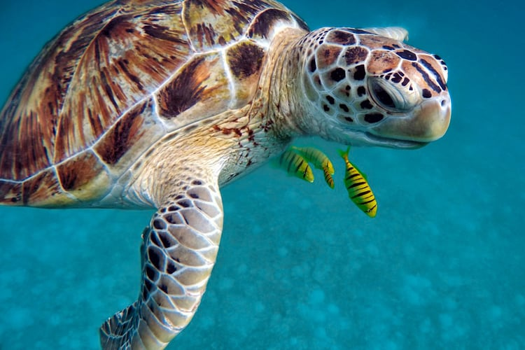 Turtle up close in a clear green ocean