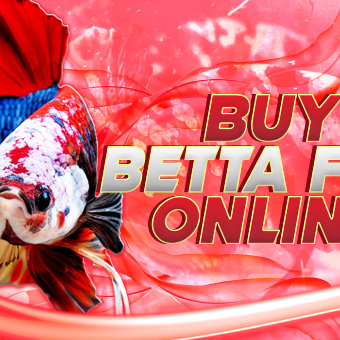 Buy Betta Fish | Buy Betta Fish Online