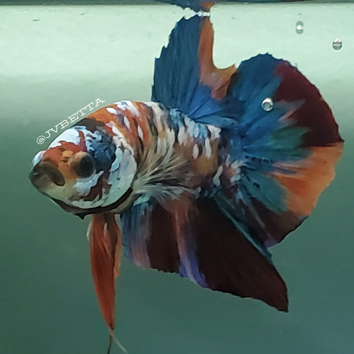 Galaxy Koi Male Betta Fish GK-0025