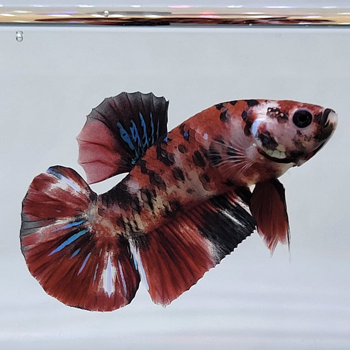 galaxy koi male betta fish