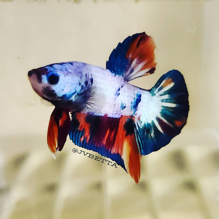 Male Galaxy Koi Betta Fish