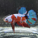 Galaxy Koi Betta Fish Male