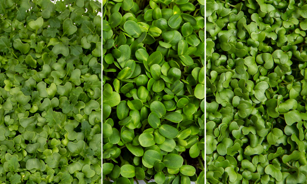 boston microgreens organic