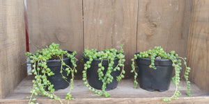 "String of pearls - 4"" pot"