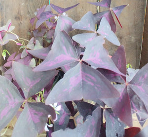 "Oxalis triangularis - purple shamrock 6"" pot"