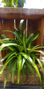 "Spider Plant, Green - 8"" Hanging Basket"
