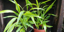 Load image into Gallery viewer, Dracaena sanderiana - Lucky Bamboo