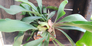 Staghorn Fern in wood basket