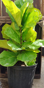 Fiddle Leaf Fig - 3' tall