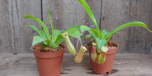 Nepenthes - Pitcher plant 2""
