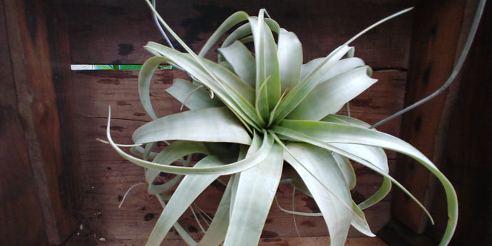 Tillandsia - Xerographica - Air Plant